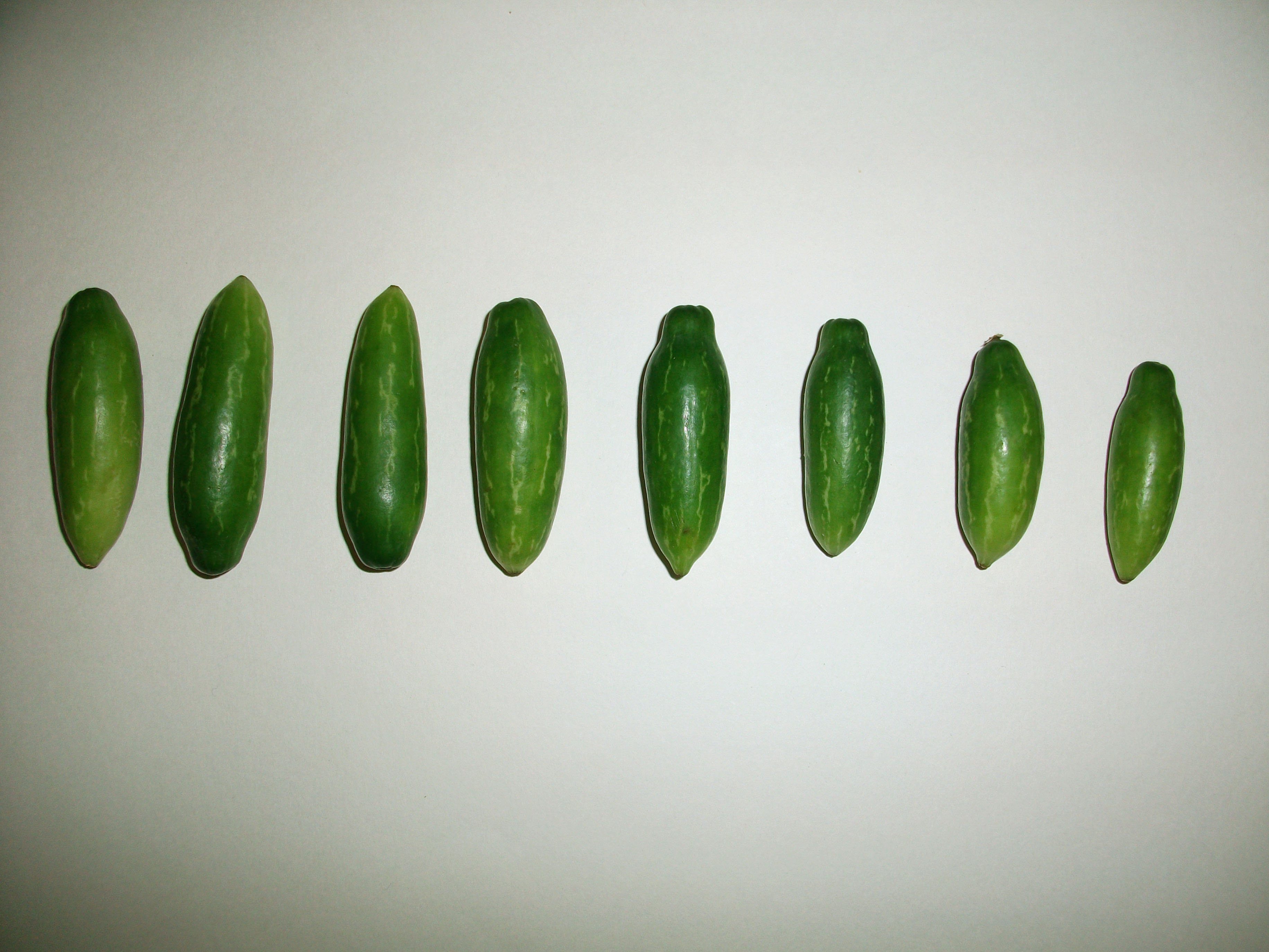 """""""Thumb Sized Tiny Ivy Gourds in a Row"""""""