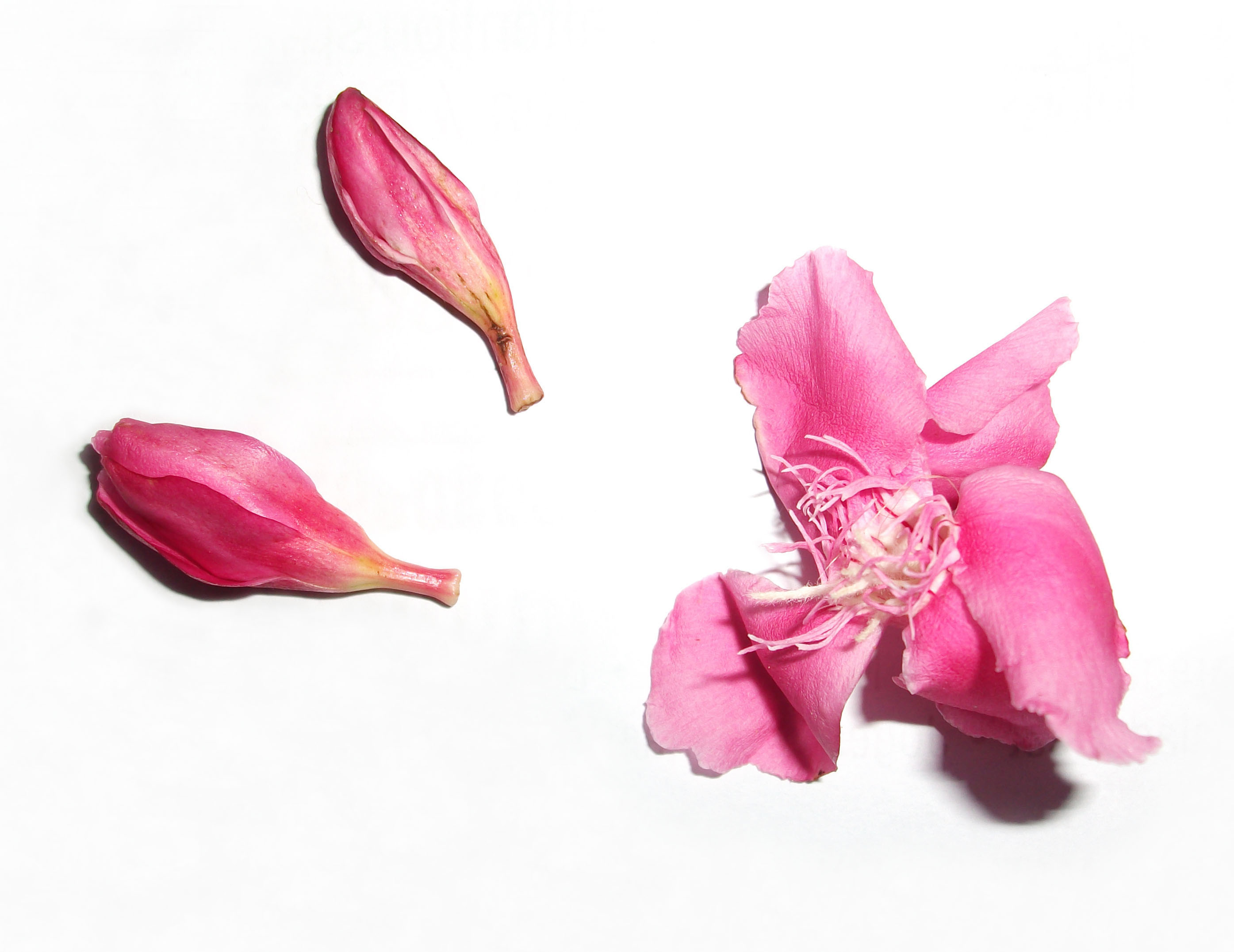 """Pretty Pink Rare Flower Accompanied by Two Tiny Buds"""