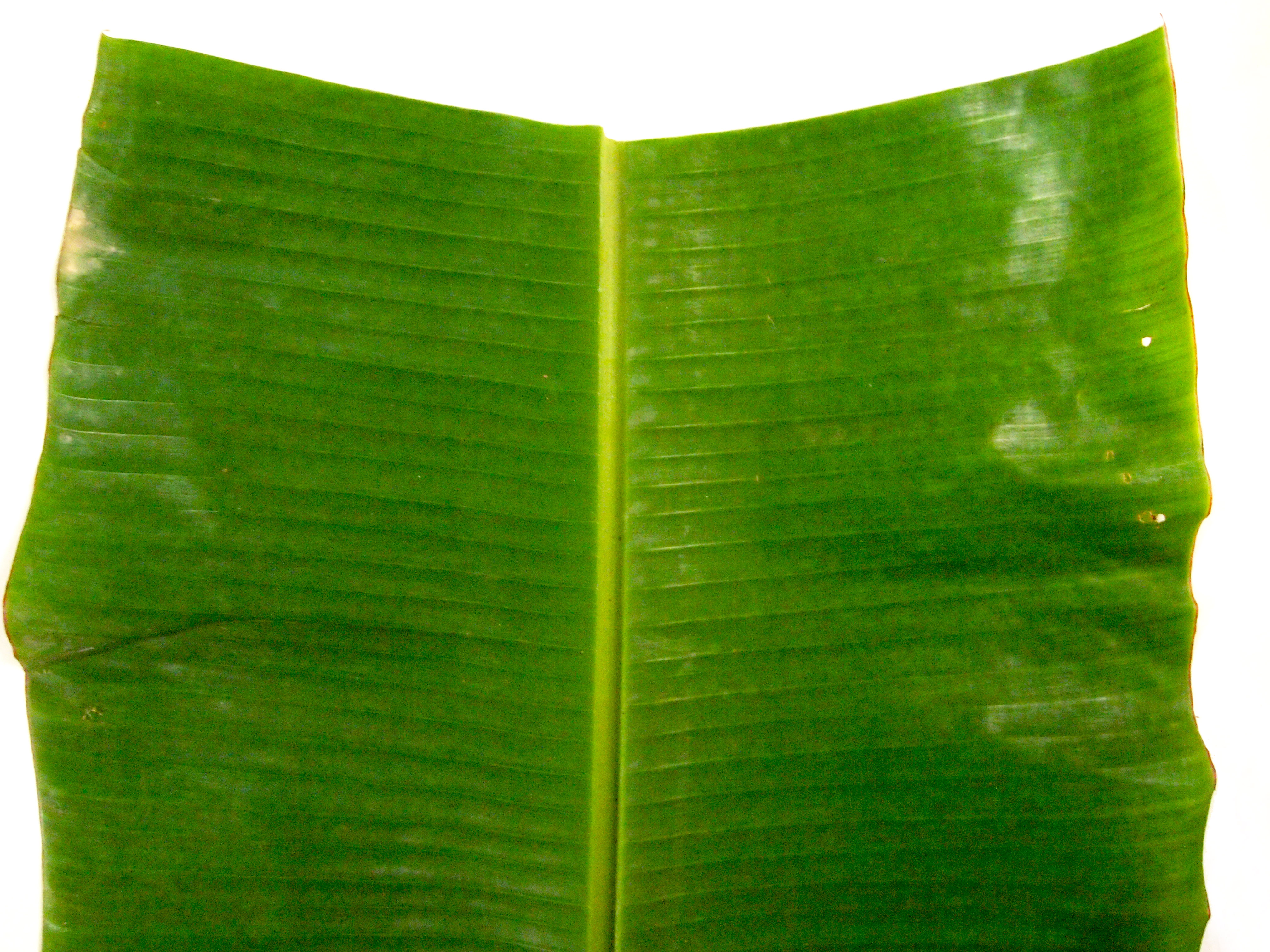 essay on banana leaves Home essays banana leaves as tea banana leaves as tea topics: antioxidant but let us consider the leaves banana leaves are fascinating and generally underappreciated isolation of caffeine from tea leaves essaycaffeine from lipton.